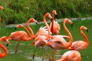 Guess Key West's flamingos tasted just like chicken.